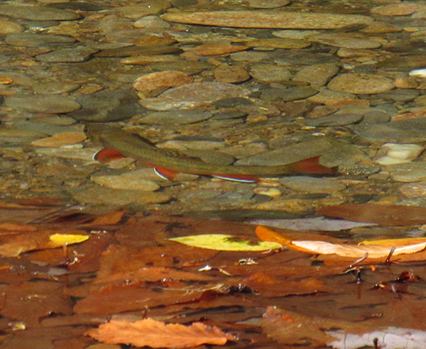 A brook trout this autumn in extremely shallow water
