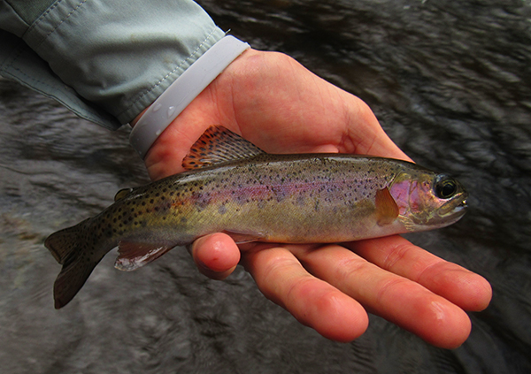 Wild trout in the Smokies seem to have pulled through the fires just fine.