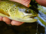 Brown trout with Bead Head Tellico Nymph