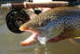 Large Brown Trout With Streamer