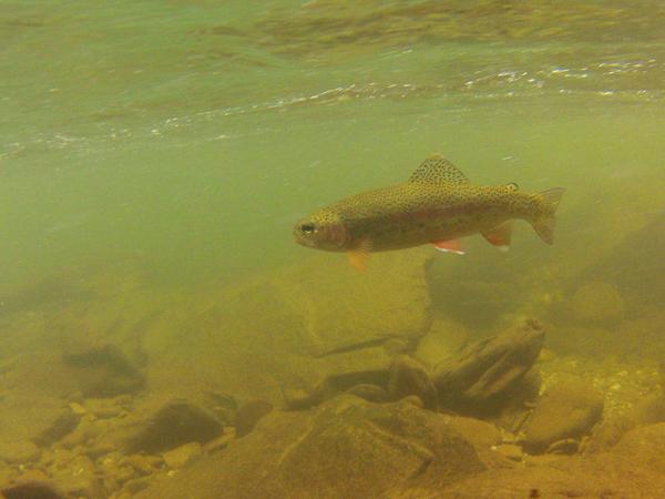 WildRainbowTroutUnderwater